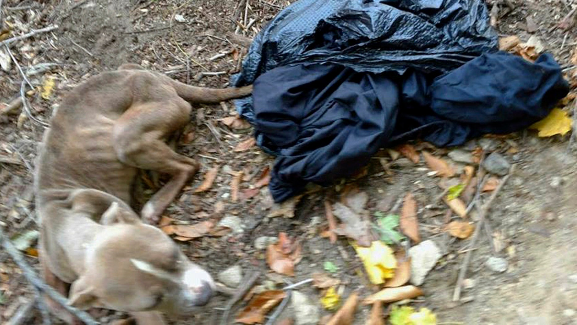 This Nov. 23, 2016, photo provided by Barbara Adams via the Pennsylvania Society for the Prevention of Cruelty to Animals, shows the emaciated dog she noticed inside a trash bag that day in Wissahickon Valley Park in Philadelphia.