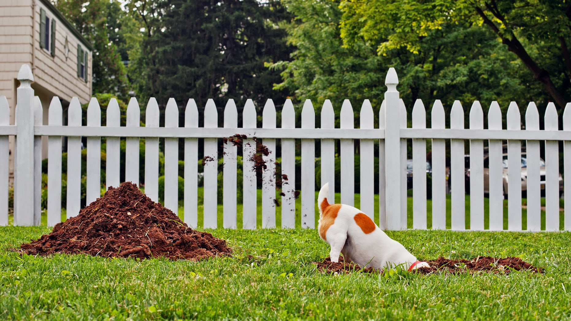 Dog digging hole in yard