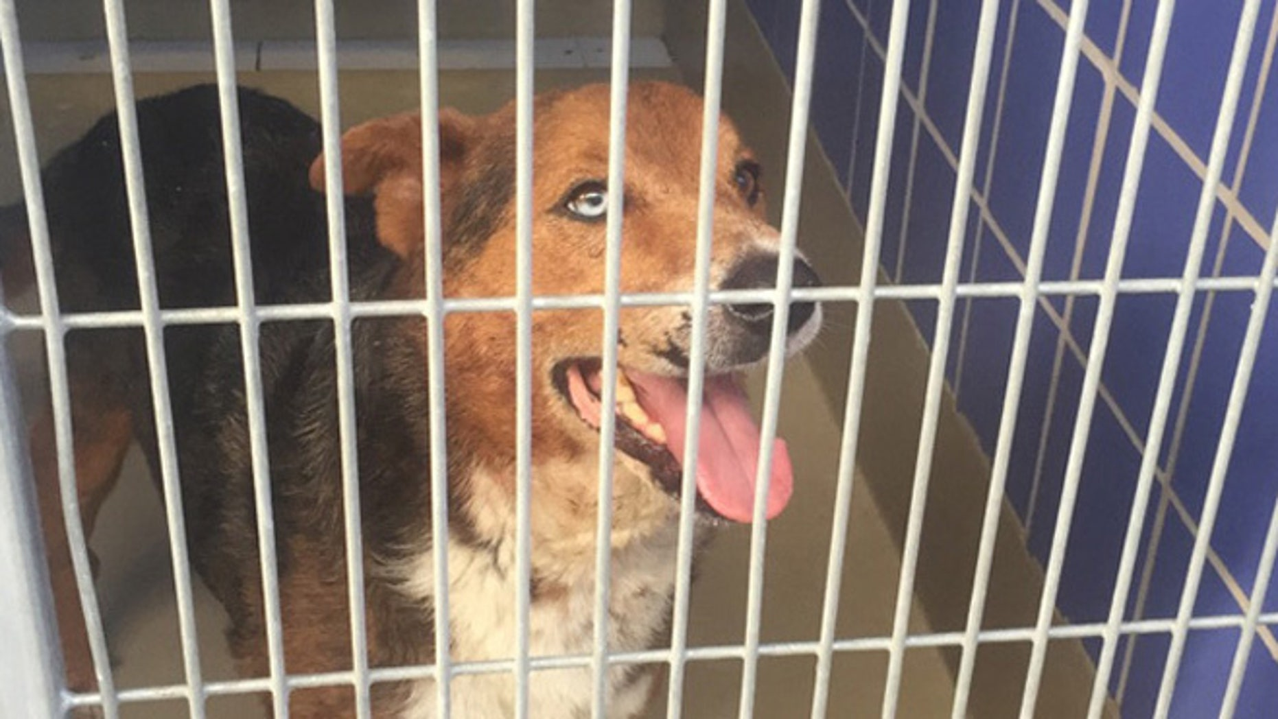 One of the dogs seized after an attack on a woman at Texas home. (Austin Animal Protection)