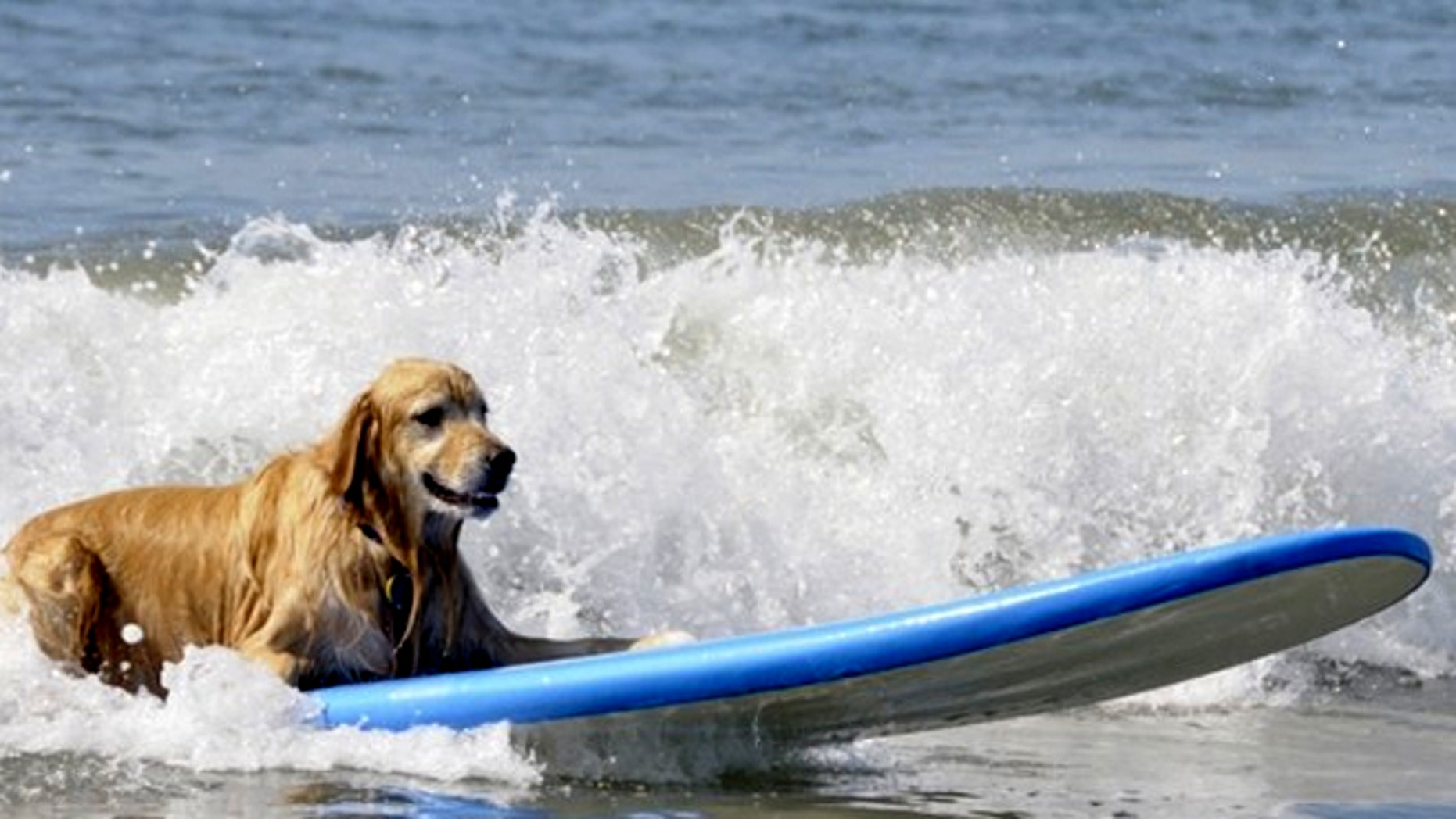 This luxury dog vacation package includes surfing lessons for your pet.