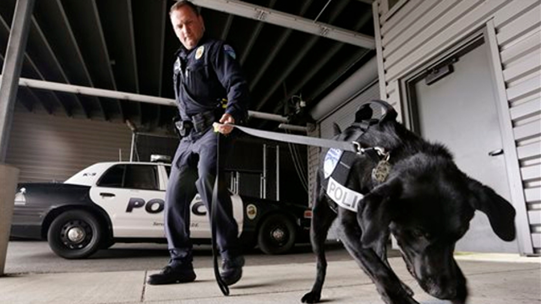May 30, 2013: Drug-sniffing police dog Dusty is watched by handler Officer Duke Roessel as the K-9 begins to dig at a box after successfully located a stash of heroin during a training session at the police station in Bremerton, Wash.