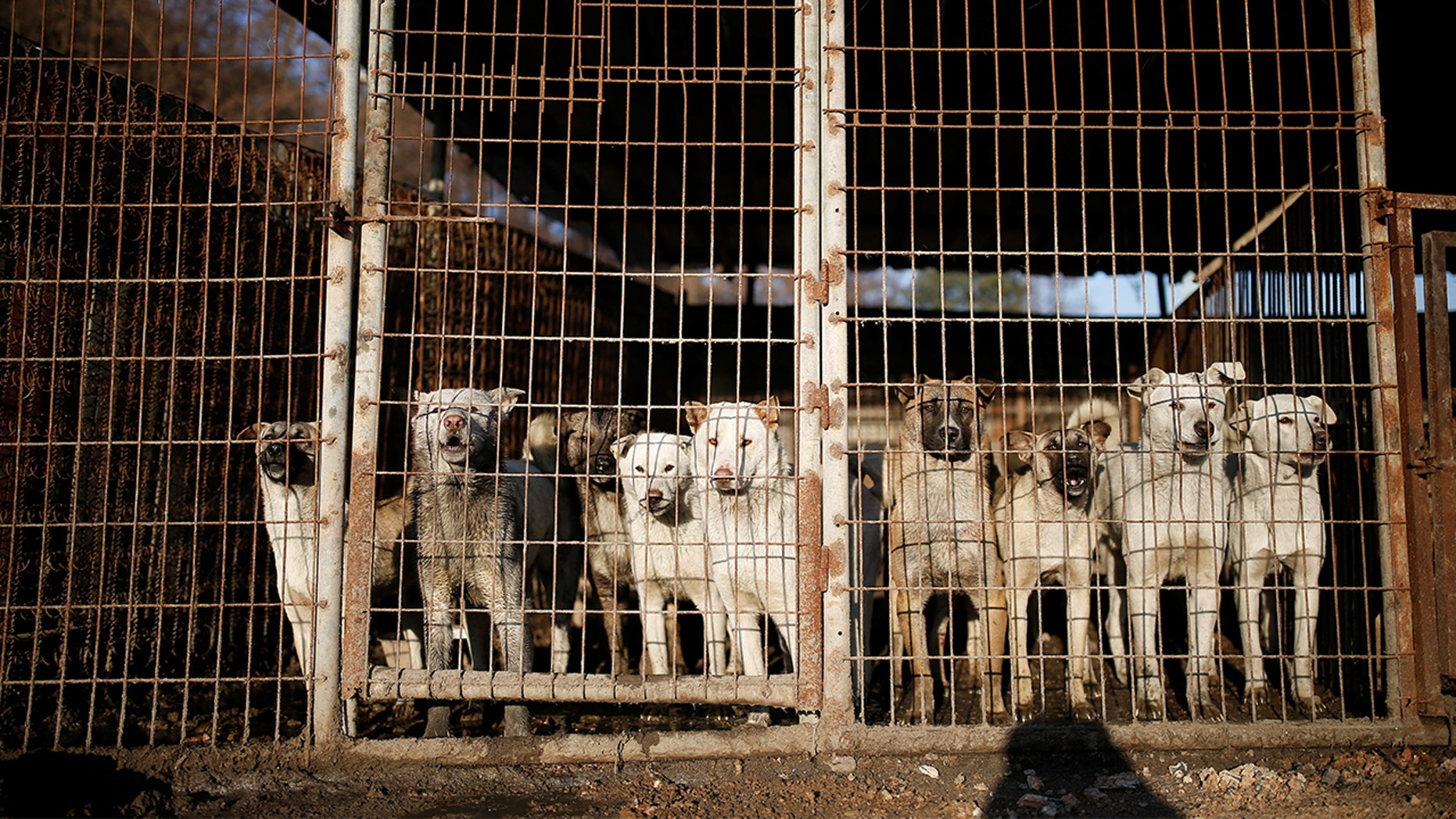 Many restaurants in Pyeongchang county are ignoring requests to stop serving dog meat during the Olympics, with some saying it might threaten their businesses or livelihoods.