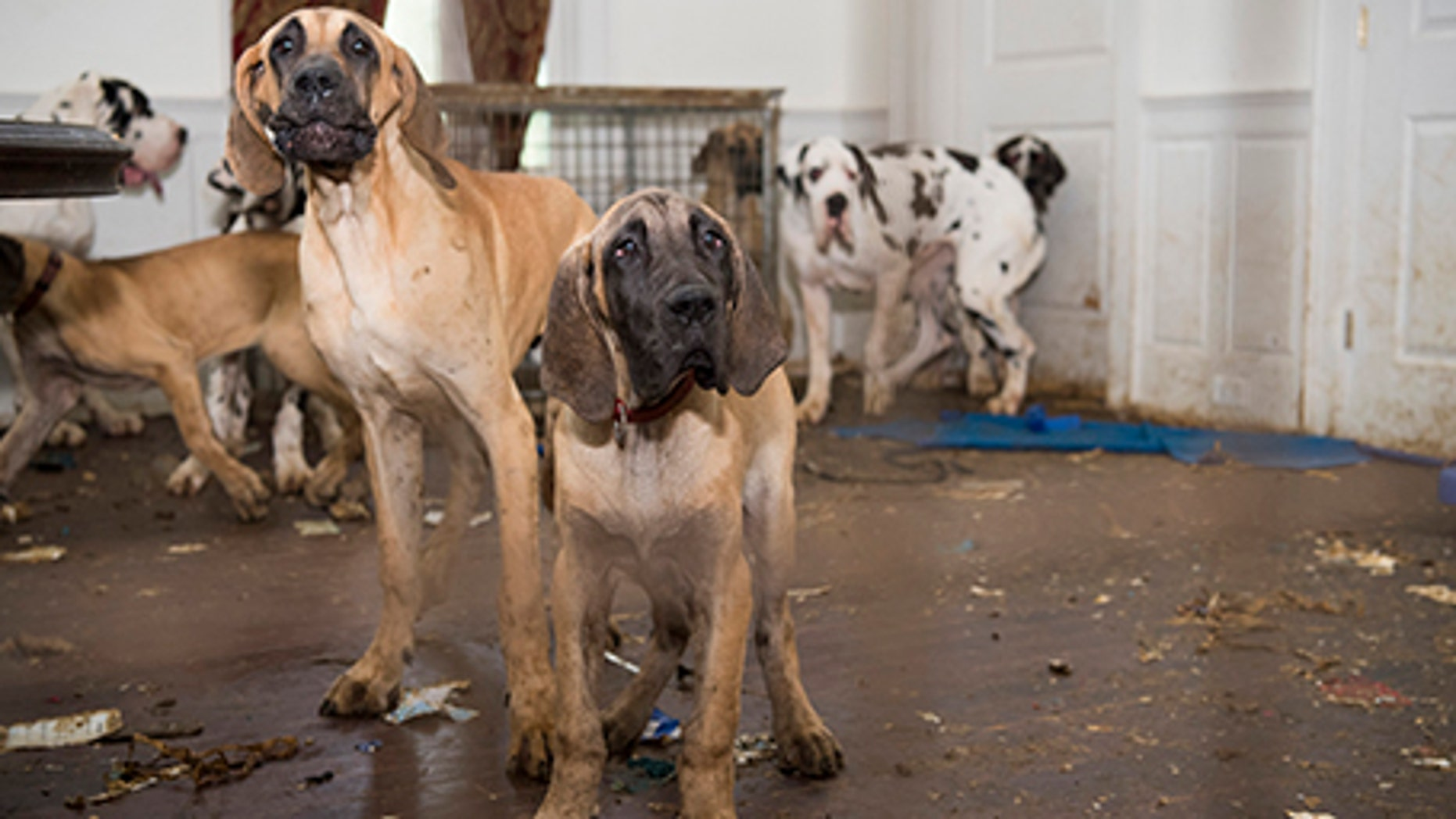 84 Great Danes were seized from Christina Fay's New Hampshire home in June.