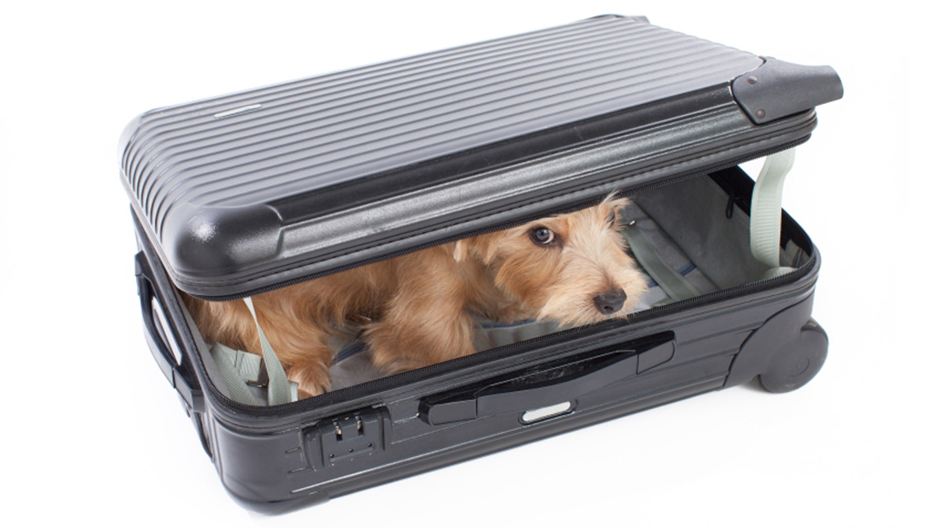 A small Schnauzer snuck into his unsuspecting owner's suitcase.