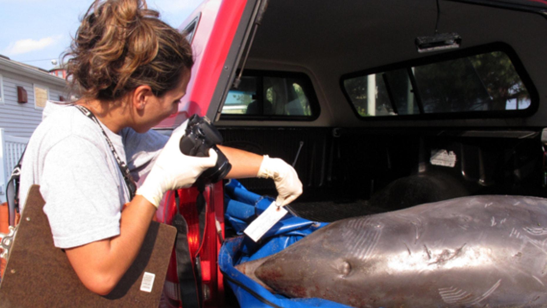 Aug. 1, 2013: From right, Virginia Aquarium Stranding Response Team members Krystal Rodrique of Virginia Beach, Va. and intern Liz Schell of Durango, Co. load a deceased male dolphin onto a metal stretcher on Ocean View Beach in Norfolk, Va.