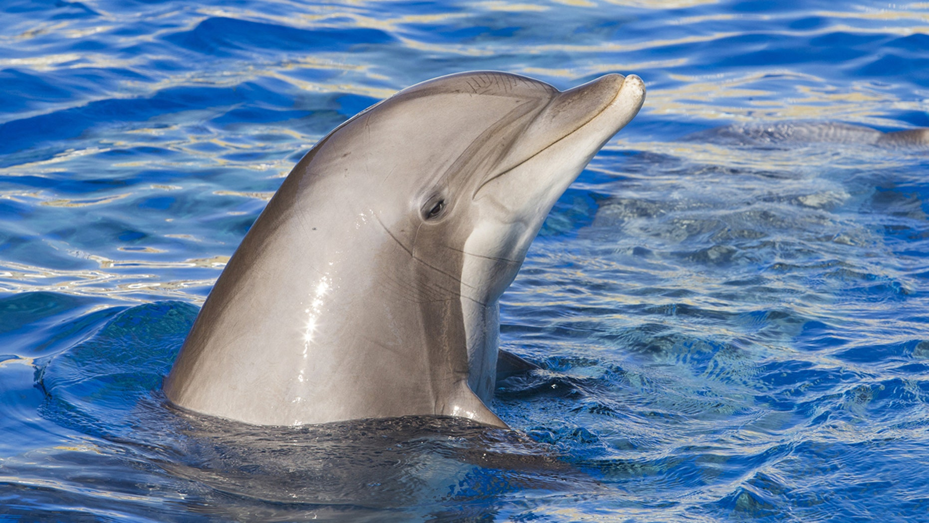 A bottlenose dolphin in Landévennec (not pictured) has been rubbing up against boats, kayaks and swimmers, prompting the mayor to issue a swimming ban.