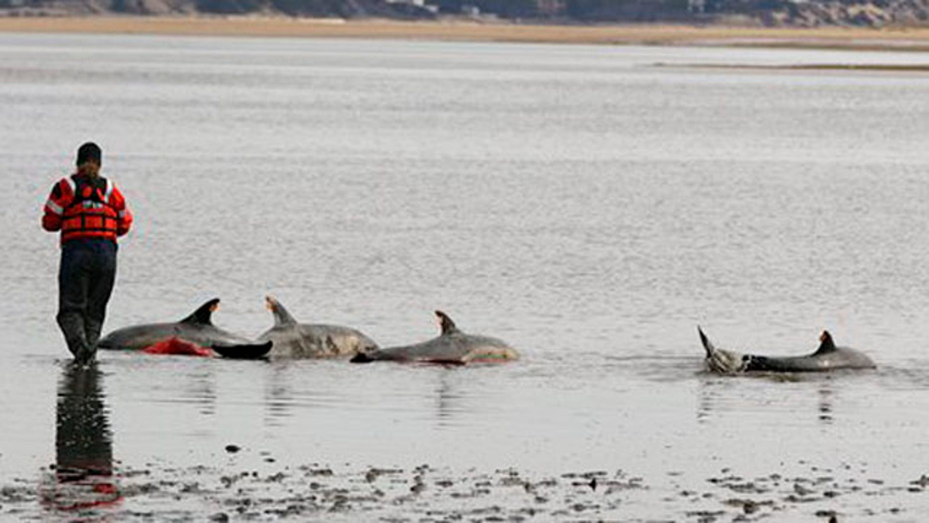 Feb. 14, 2012: Katie Moore, an International Fund for Animal Welfare rescue team member, approaches a portion of a pod of 11 dolphins stranded on a mud flat during low tide in Wellfleet, Mass.