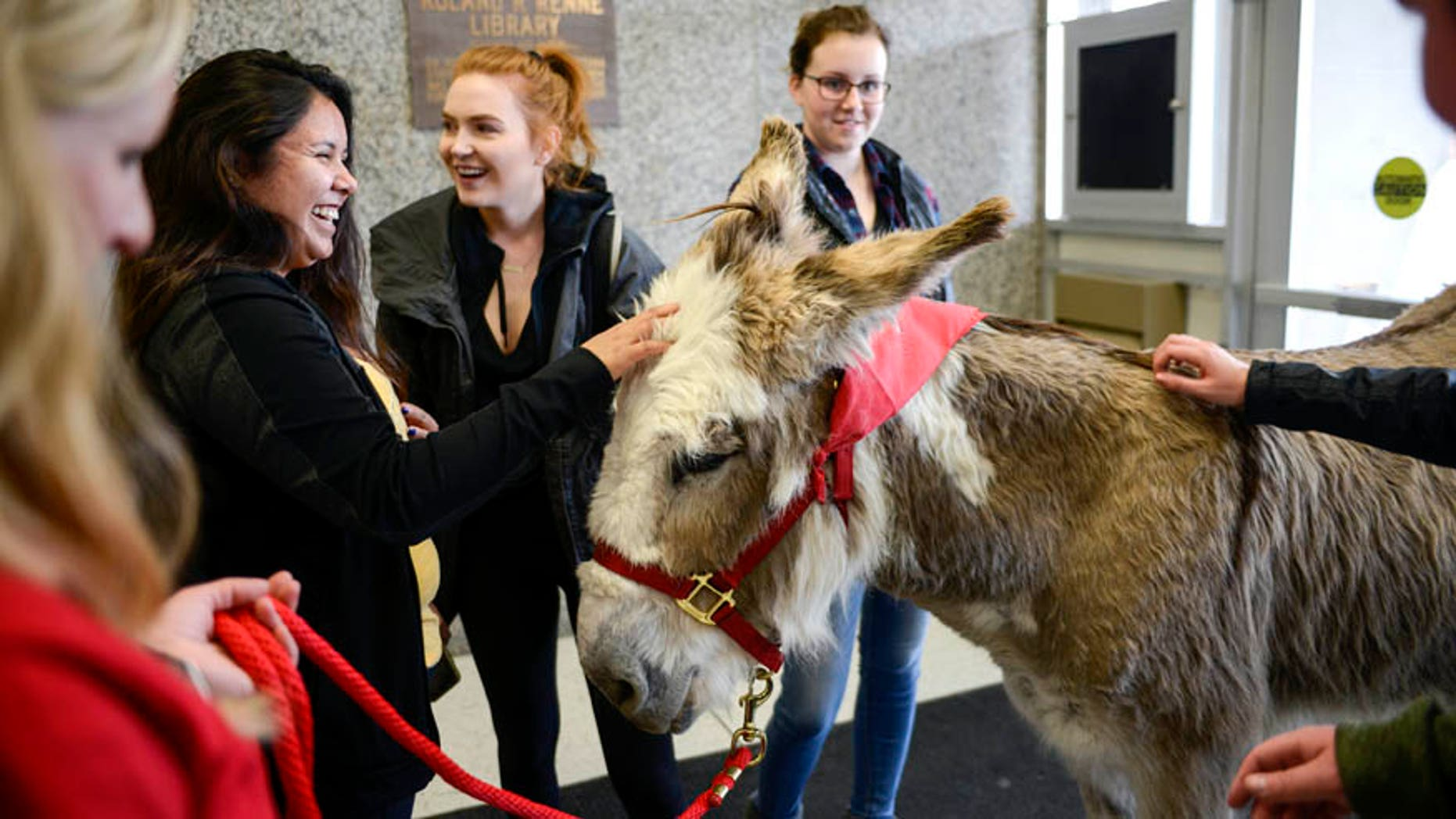 May 2, 2017:  Stephanie Barnette and her certified therapy donkey, Oliver, visit students to help relieve final exam stress in the foyer of Renne Library on Montana State University campus in Bozeman, Mont.