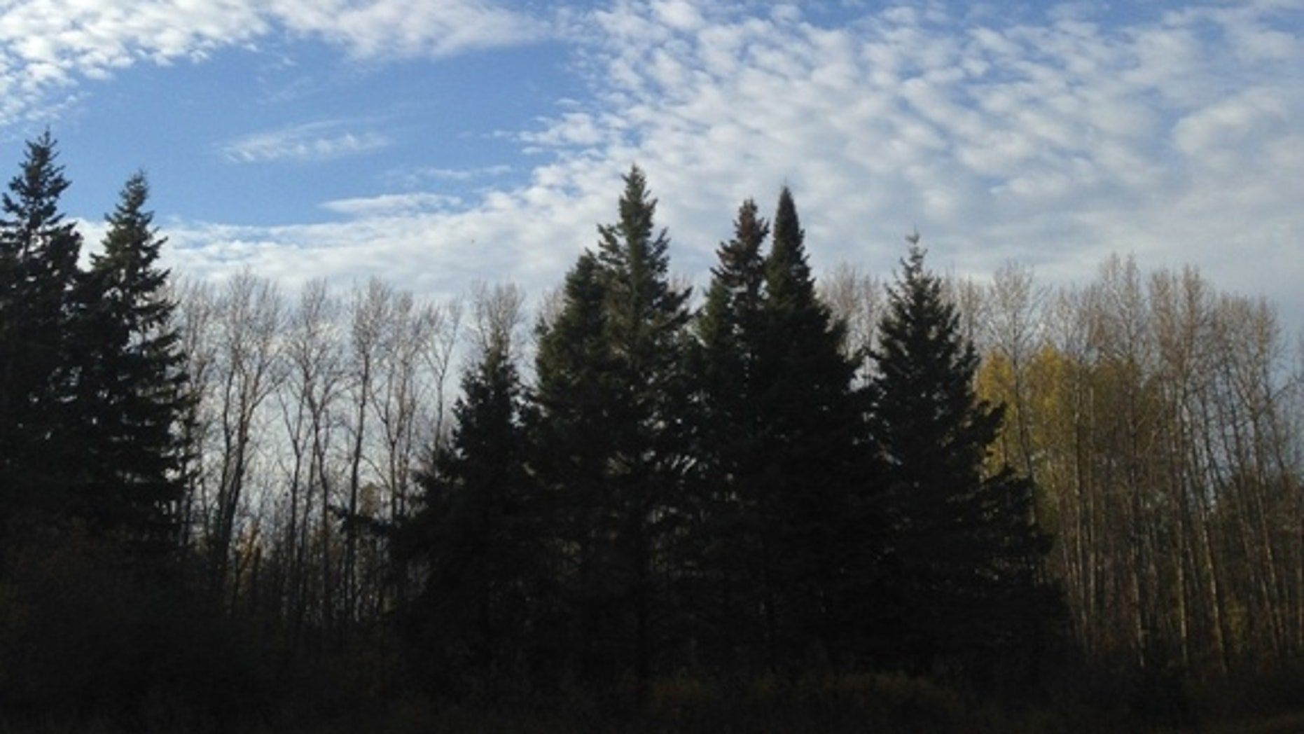 A drone flies toward the location of a collared bear in northwestern Minnesota. Researchers found bears' heart rates spiked when these unmanned aerial vehicles flew overhead.
