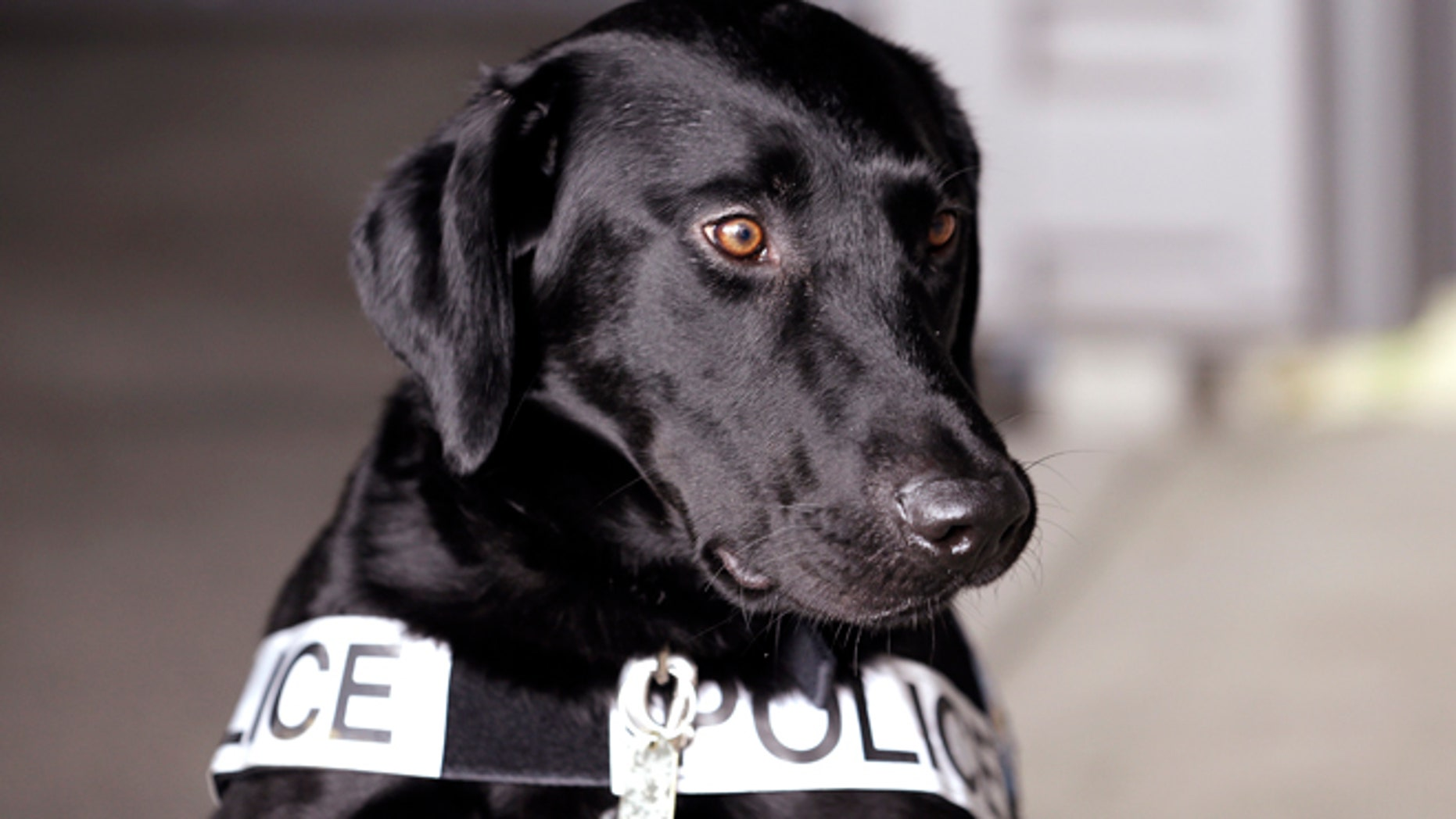 May 30, 2013: A drug-sniffing police dog is shown at a training session at a police station in Bremerton, Wash.
