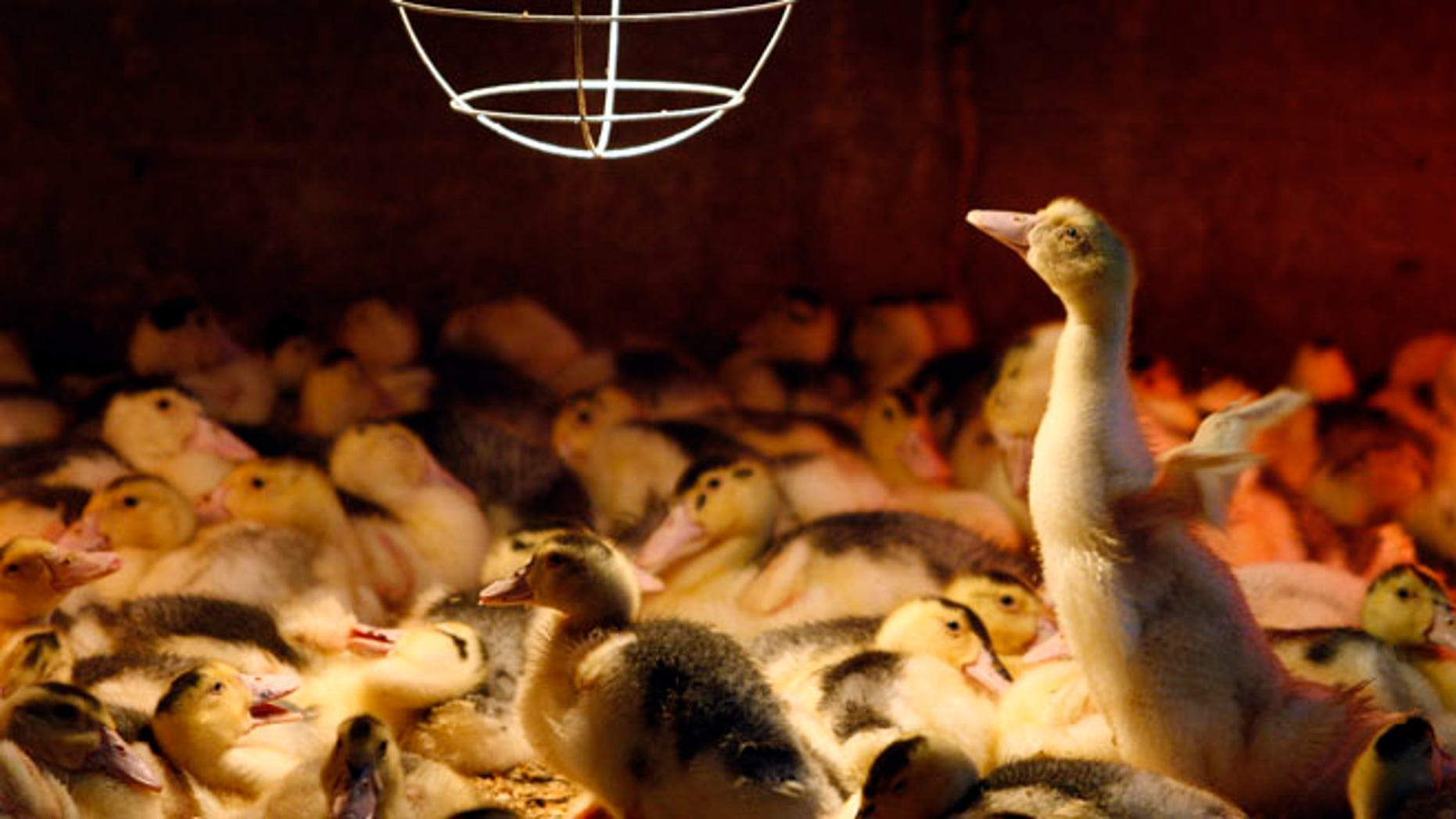 June 6, 2009: A three week old Mulard duck tries to fly inside a barn at the Ferme Basque in St-Urbain.