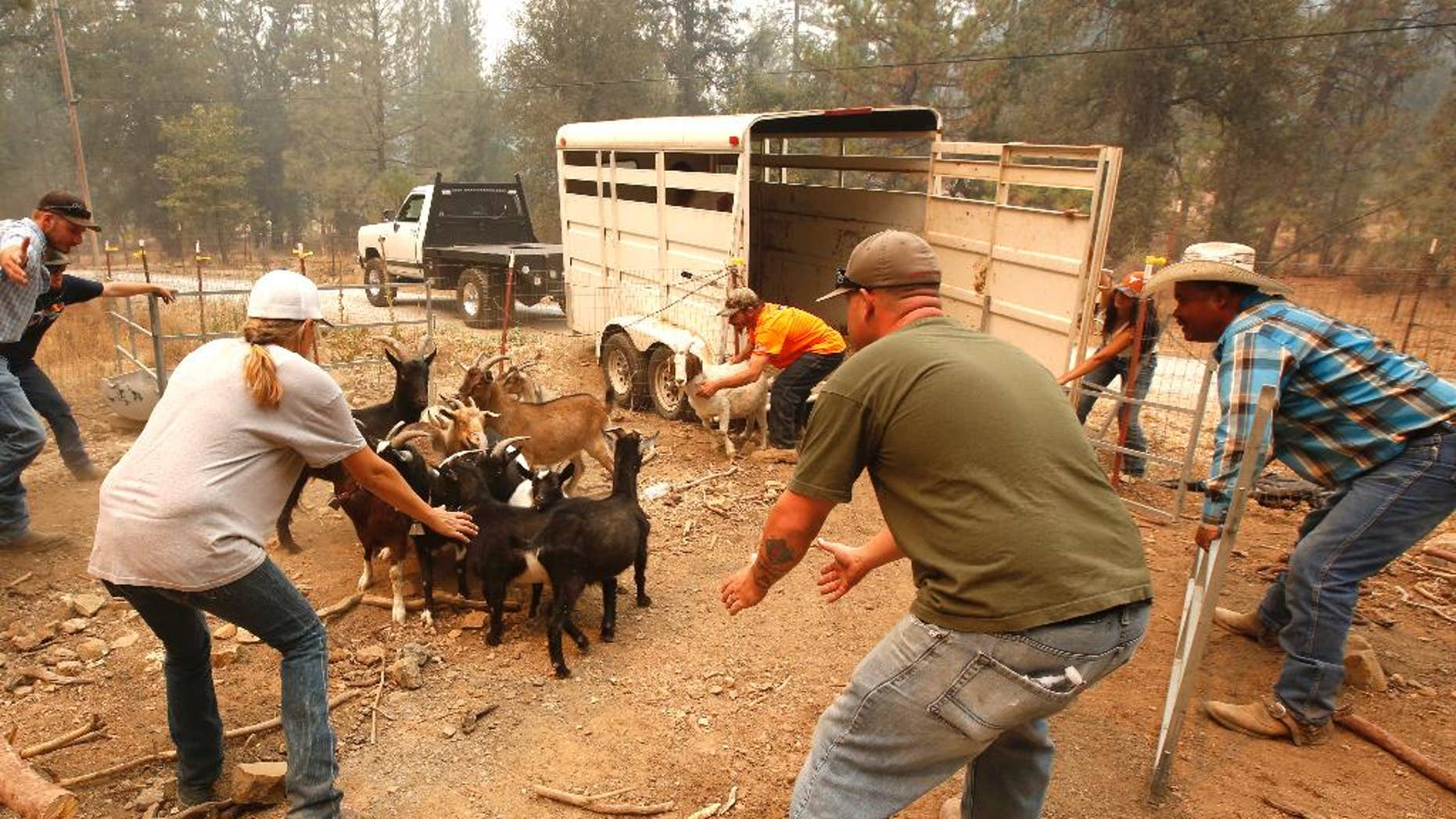 Animal rescue group volunteers herd goats from a home threatened by a fire near Railroad Flat, Calif., Sunday, Sept. 13, 2015. Two of California's fastest-burning wildfires in decades overtook several Northern California towns, destroying homes and sending residents fleeing. (AP Photo/Rich Pedroncelli)