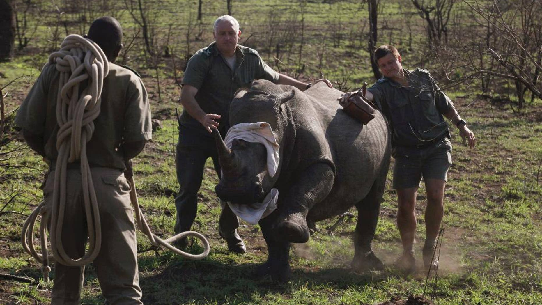 FILE - In this file photo takentaken Thursday, Nov. 20, 2014 a darted rhino is blind-folded before being grounded for skin and blood samples to be taken, and microchipped, near Skukuza, South Africa, before being transported by truck to an area hopefully safe from poachers in a bid to cut down on the numbers killed by poachers. Some conservationists believe that the reported numbers of rhinos killed could be much higher than recorded. (AP Photo/Denis Farrell, File)