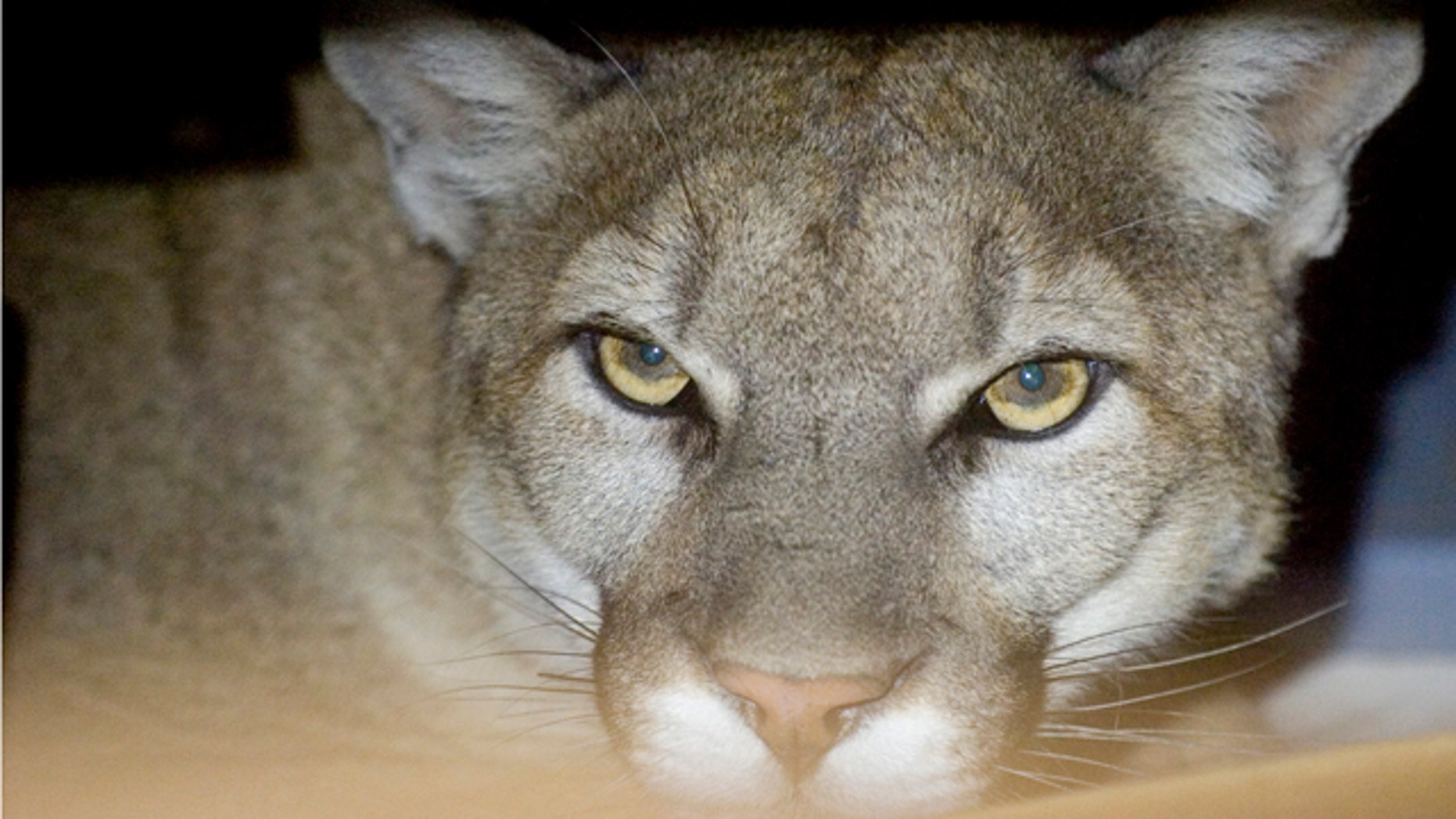 May 24: A photo provided bv the Hesperia Code Enforcement shows a mountain lion peering from his hiding place inside a family's garage in Hesperia, Calif. The mountain lion was eventually sedated by California State Fish and Game Biologists and released back into the wild. (AP/Hesperia Code Enforcement)