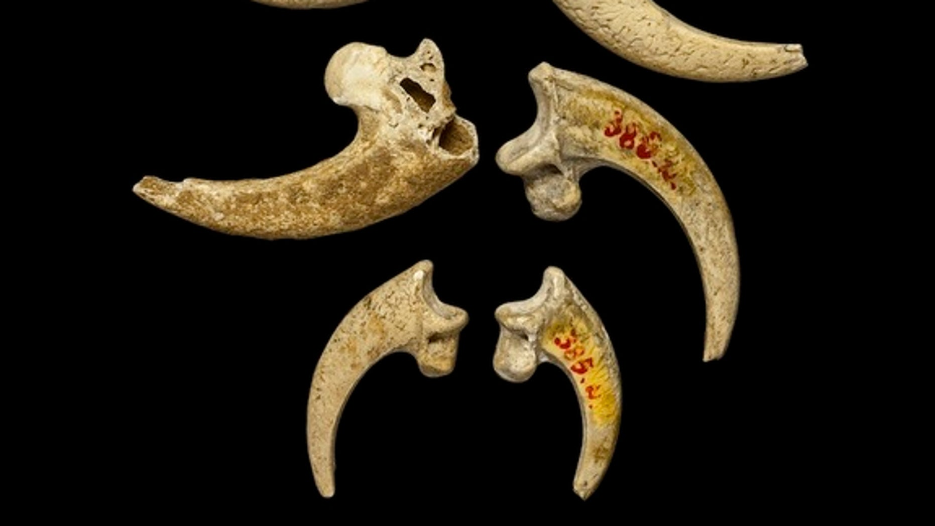 The eight eagle talons from Krapina arranged with an eagle phalanx that was also found at the site.