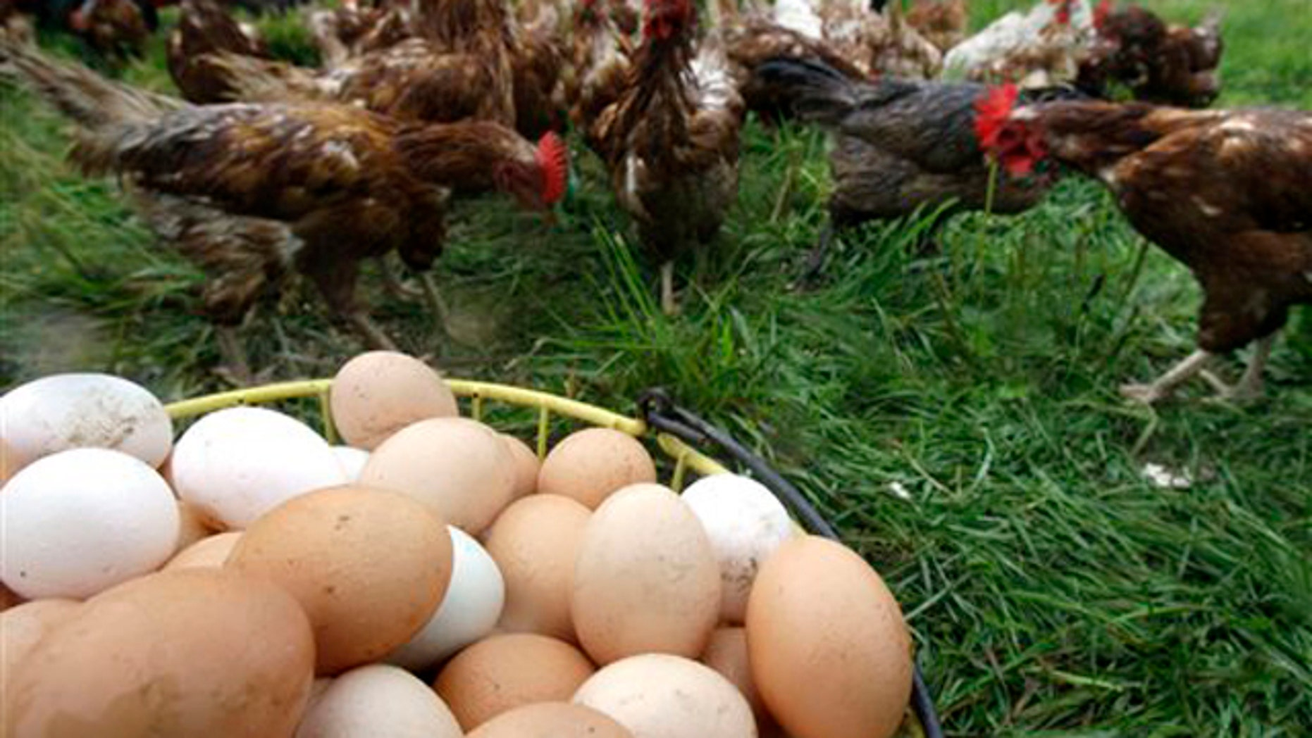 Chickens gather near a basket of freshly gathered eggs at Pete & Jen's Backyard Birds, a small organic farm in Concord, Mass., Aug. 23. The farm has not been affected by the egg recall. (AP Photo)