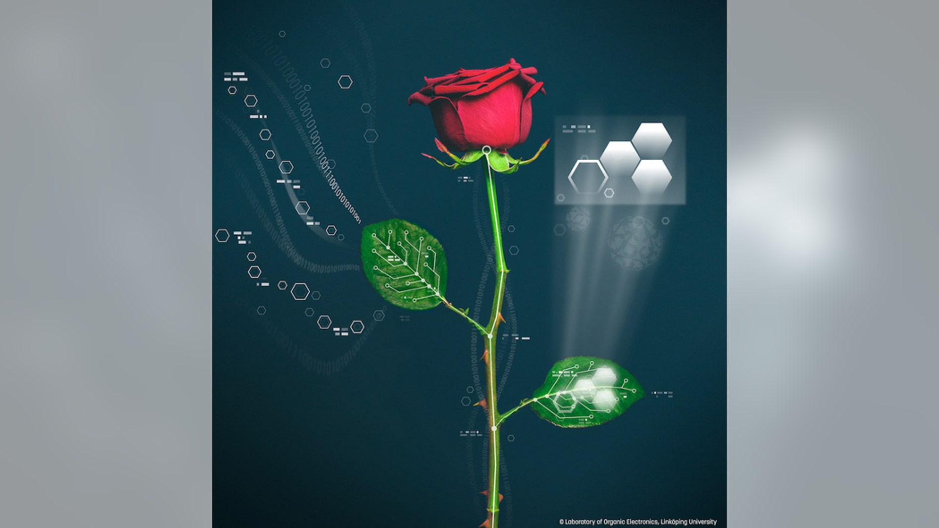 Scientists have created roses that have self-assembling electronic circuits inside them. The method could one day help produce self-monitoring plants.