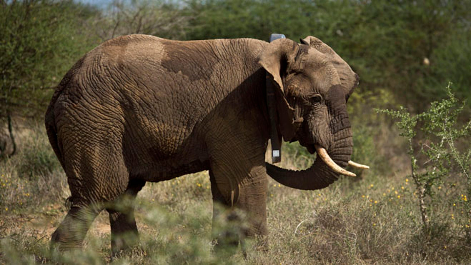 Dec. 3, 2013: A male elephant wears a newly-fitted GPS-tracking collar around his neck, during an elephant-collaring operation near Kajiado, in southern Kenya.