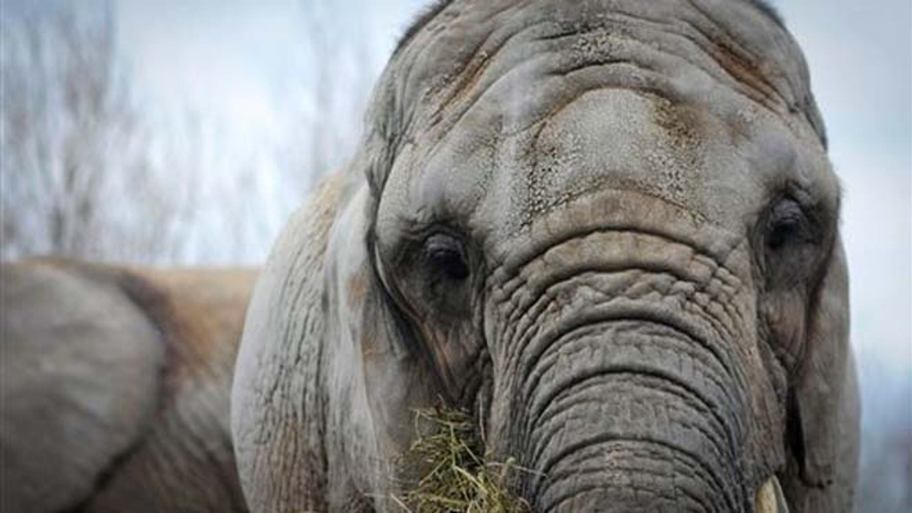 April 5, 2011:  Toka, age 41, is being retired from the zoo after 37 years, and will be flown on Aug. 2, 2012 to PAWS' 2,300-acre sanctuary in San Andreas, Calif.