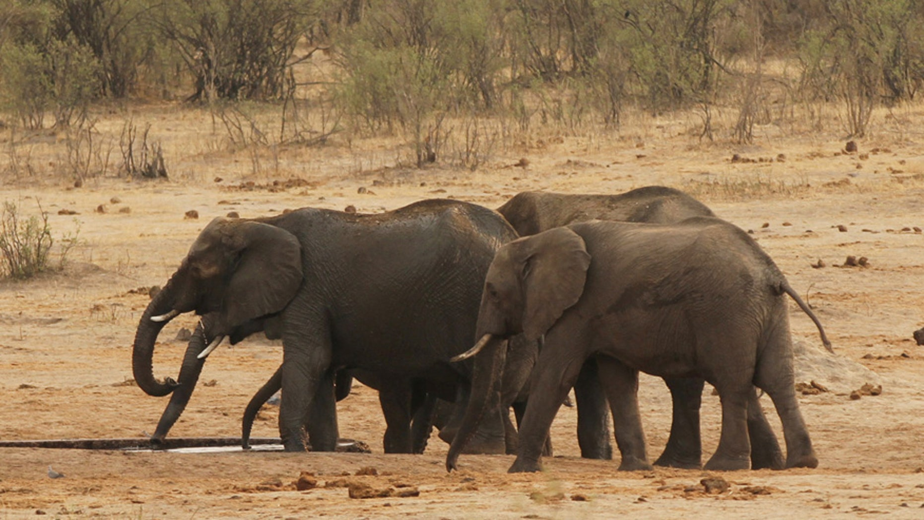 Sept. 29, 2015: A herd of elephants walk at a watering hole in Hwange National Park in Zimbabwe.