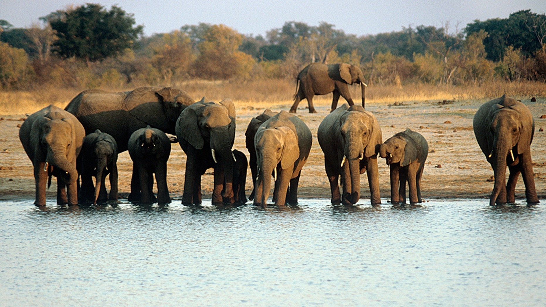 The woman was with a group of tourists at the Mana Pools game reserve (not pictured) when they encountered a herd of elephants upon entering the park