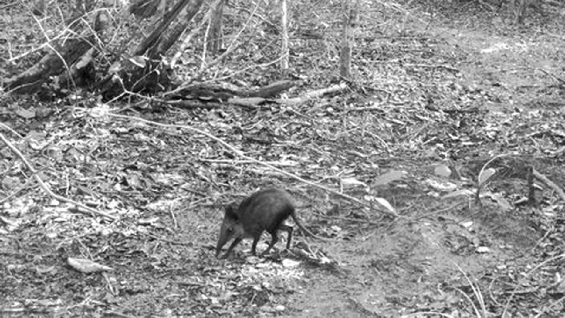 This camera-trap photograph shows the potentially new species of elephant shrew in Kenya.