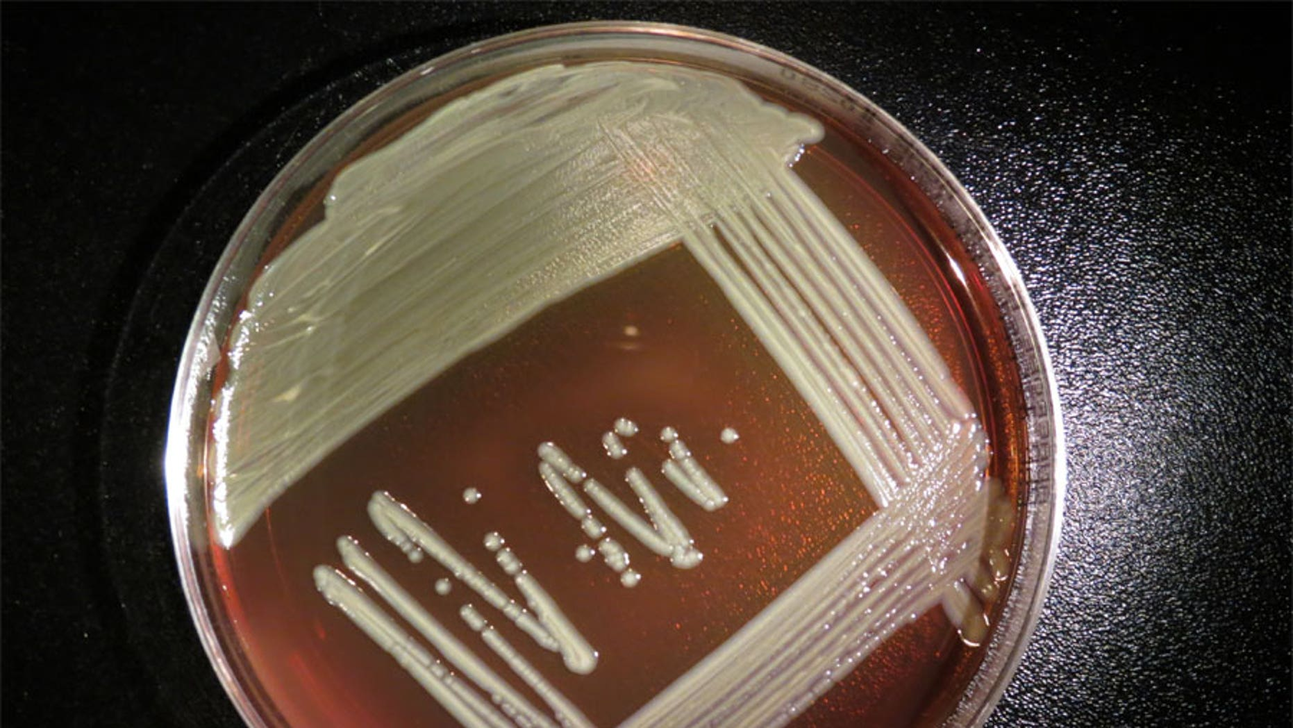 The bacteria Elizabethkingia anophelis growing in a lab dish