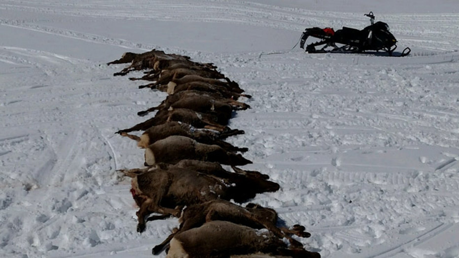 Wolves killed 19 elk in Wyoming. (Wyoming Game and Fish Department)