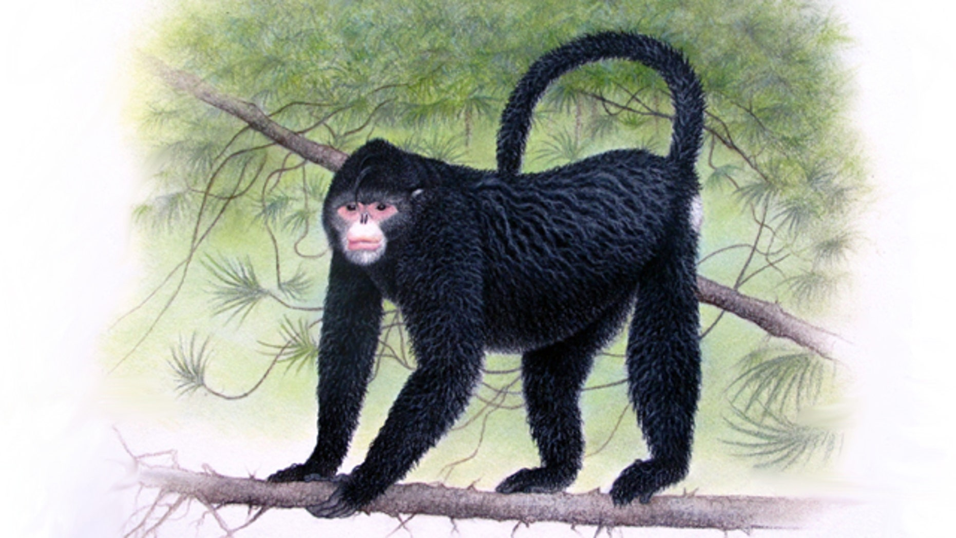 """In this undated image provided by Fauna & Flora International, a monkey with an """"Elvis"""" hairdo is seen. It was discovered in Myanmar in 2010."""