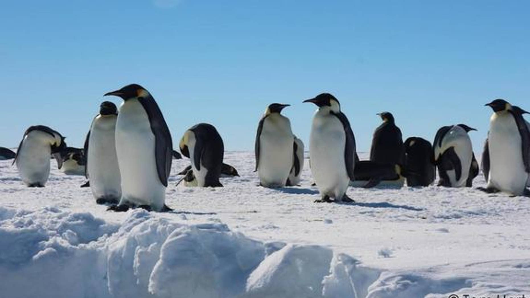 Emperor penguins in the Gould Bay colony preen and rest on the snowy ice.