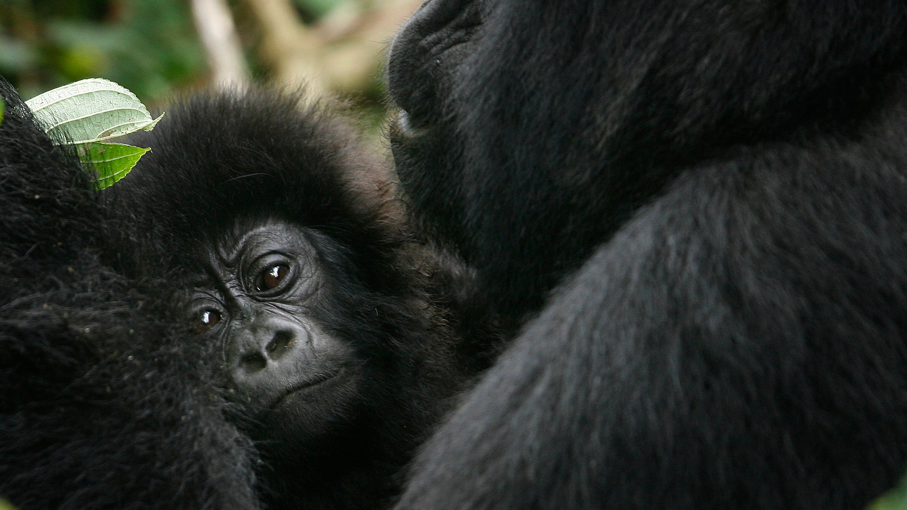 The eastern gorilla has been listed as critically endangered.
