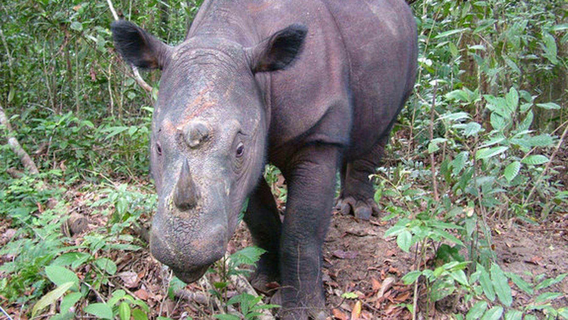 Fewer than 250 Sumatran rhinos (Dicerorhinus sumatrensis) are left in the wild.