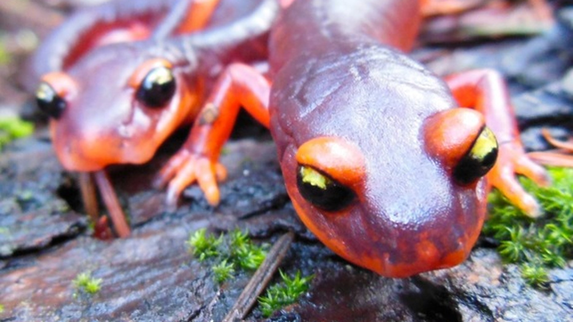 Two Ensatina salamanders (<em>Ensatina eschscholtzii</em>), a species native to the West Coast of the United States. These salamanders are likely vulnerable to a horrific new chytrid fungus that has spread from Asia to Europe and now threatens