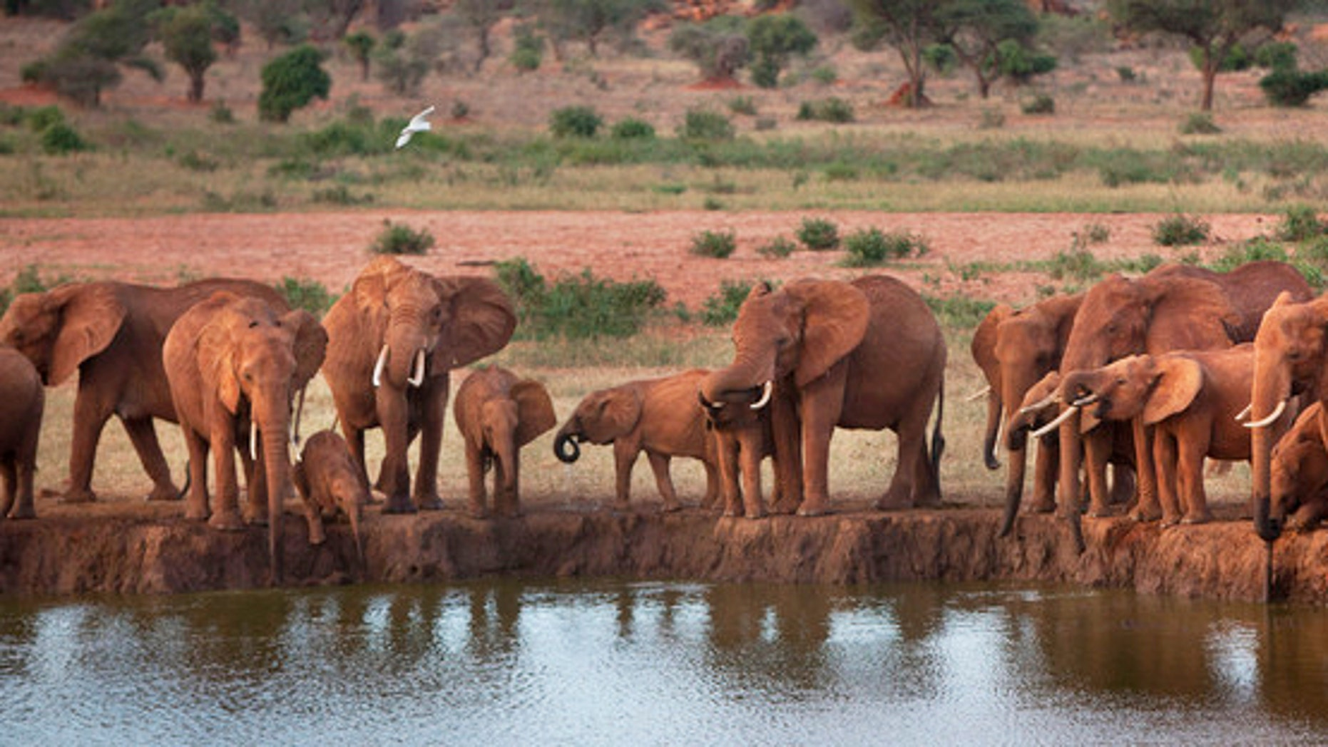 African elephants gather at a watering hole in Tsavo East National Park, Kenya.
