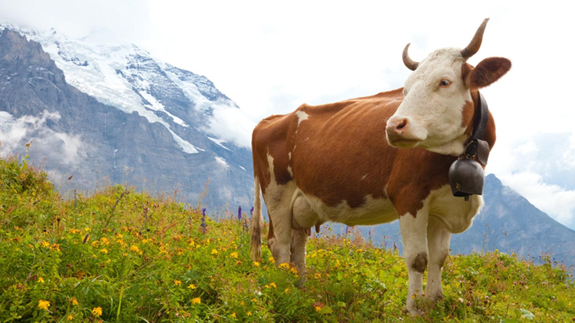 Are cowbells inhumane?