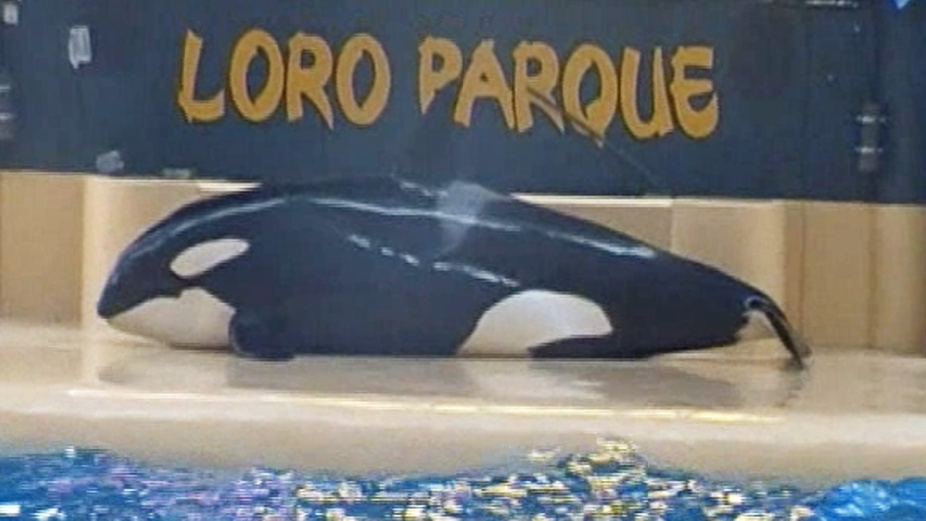 Morgan, a SeaWorld-owned orca, is seen on a concrete slab at Loro Parque, a theme park in Tenerife, Spain.