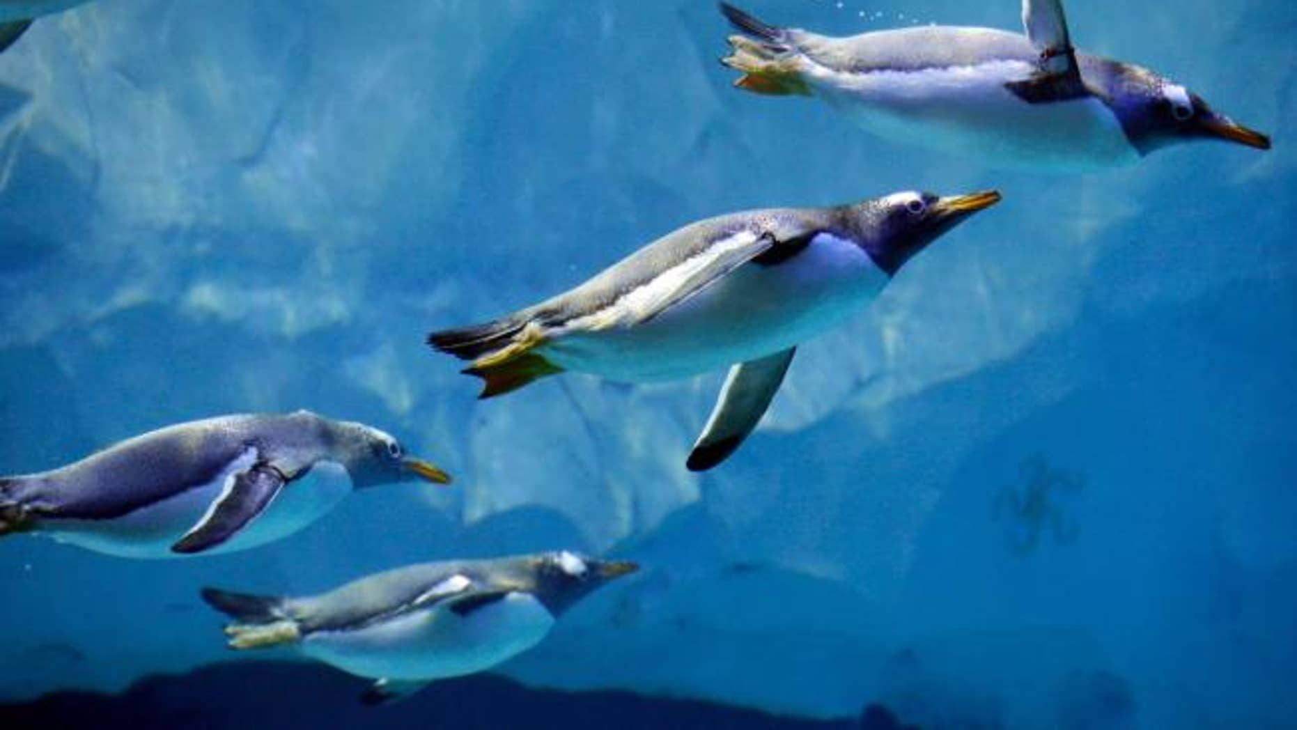 Penguins swim in the Detroit Zoo's new Polk Penguin Conservation Center, Wednesday, April 13, 2016, in Royal Oak, Mich.