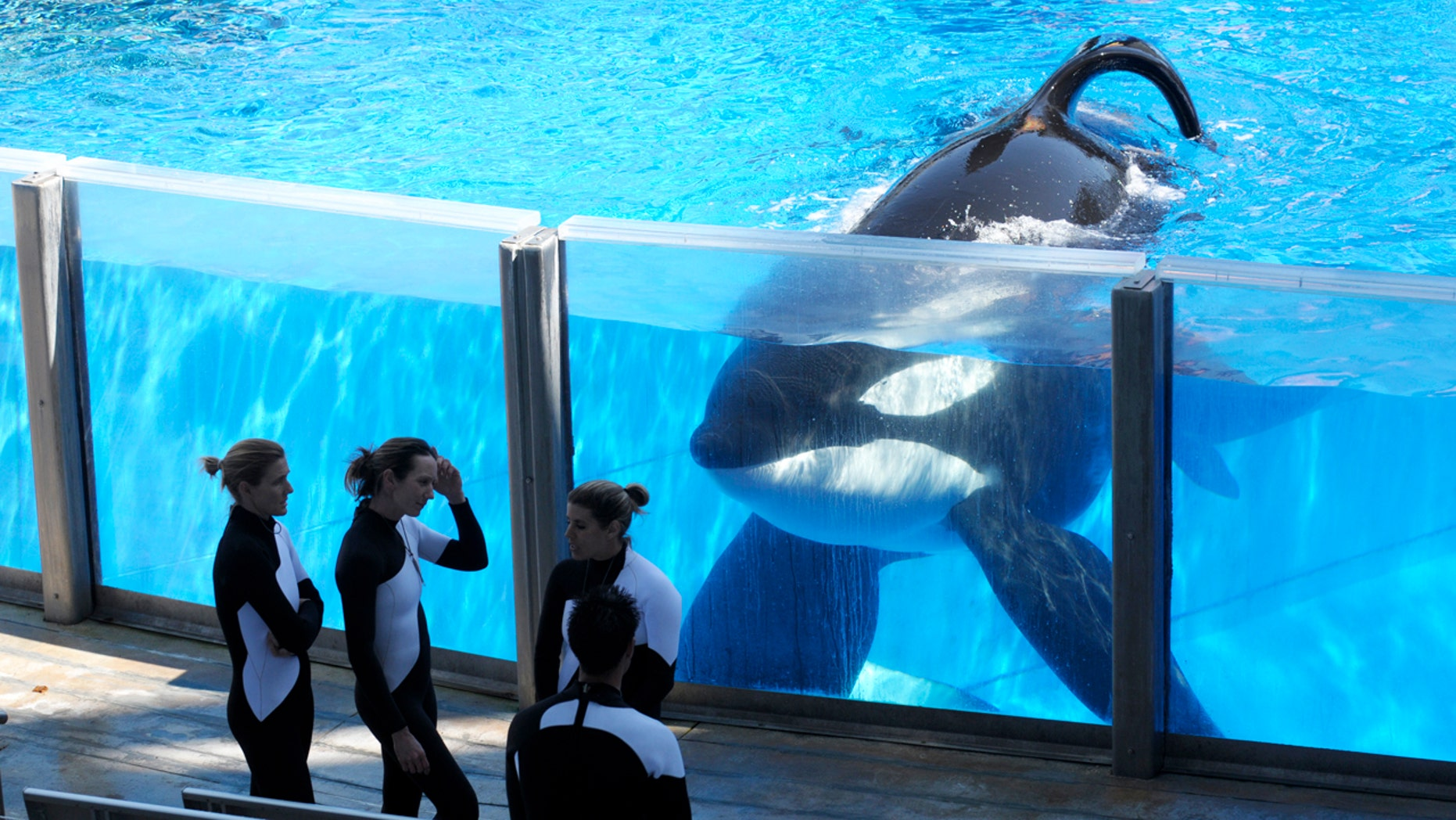 In 2011 file photo orca whale Tilikum, right, watches as SeaWorld Orlando trainers take a break during a training session at the theme park's Shamu Stadium in Orlando, Fla.