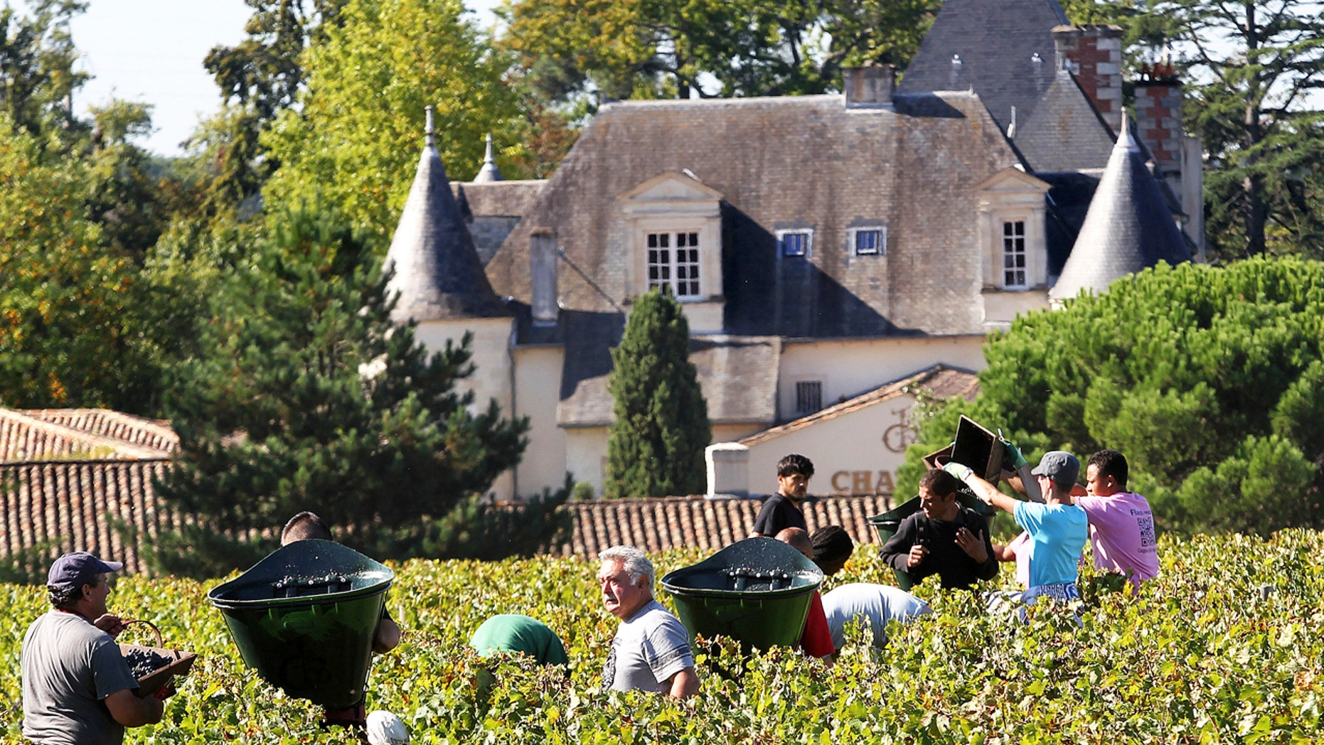 Workers collecting red grapes in the vineyards of the famed Chateau Haut Brion, a Premier Grand Cru des Graves, during the grape harvest in Pessac-Leognan, near Bordeaux, southwestern France.