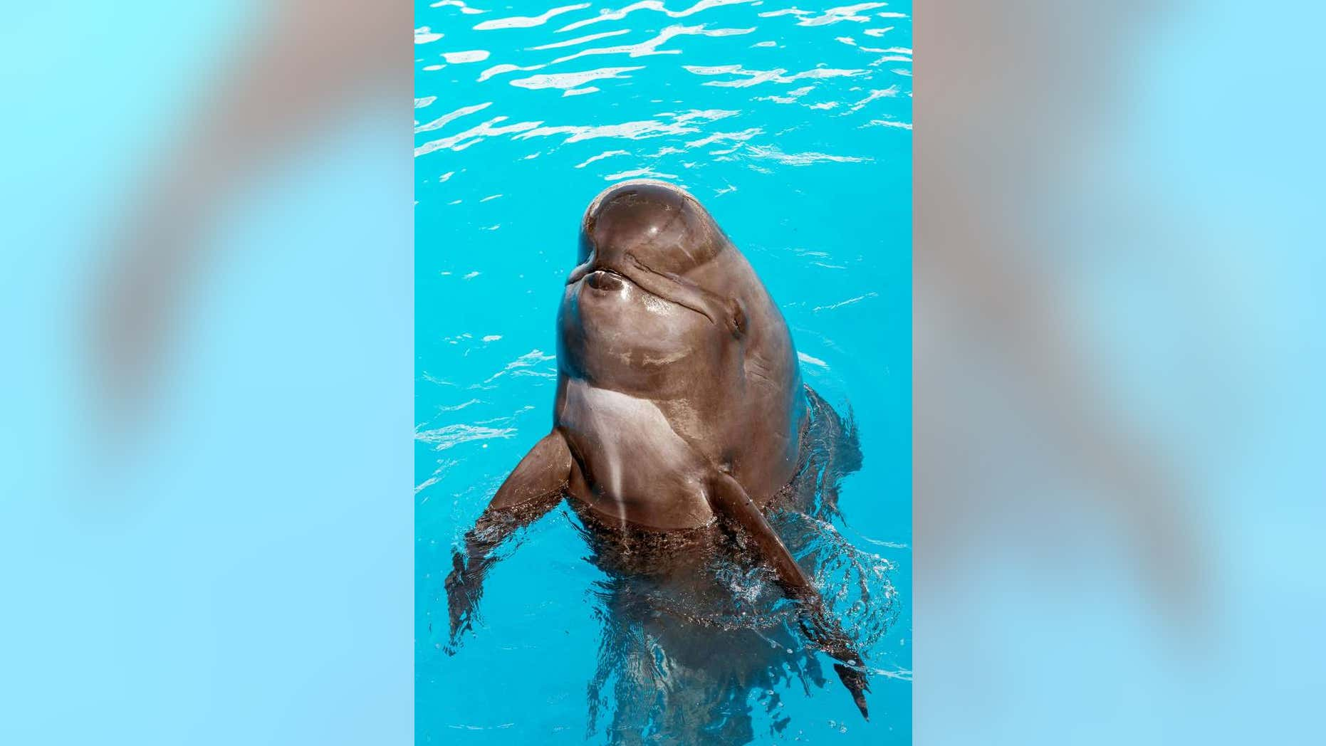 This undated photo provided by SeaWorld San Diego shows Bubbles, a short-finned pilot whale that lived at SeaWorld San Diego for nearly 30 years. The park reported that Bubbles died June 9. She was believed to be in her mid-50s.