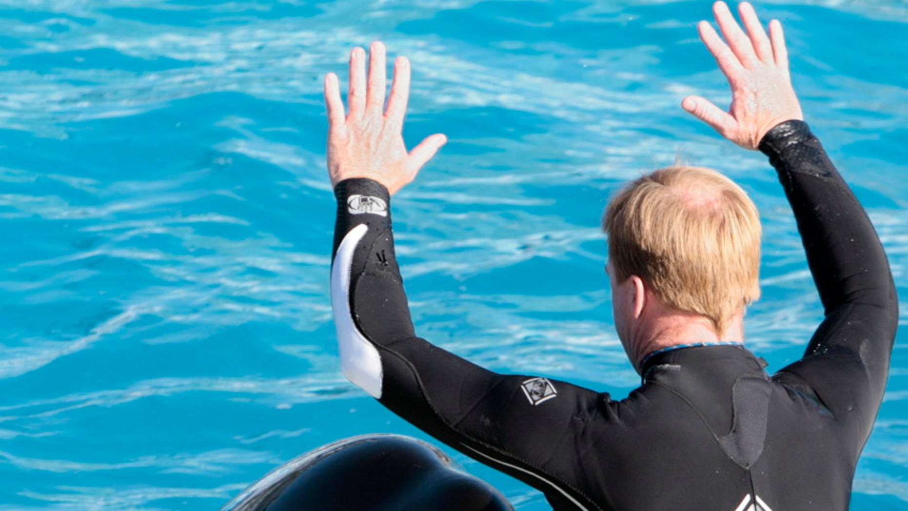 A SeaWorld trainer interacts with one of SeaWorld's killer whales during a show in San Diego. SeaWorld will end its orca shows at its San Diego park by 2017.