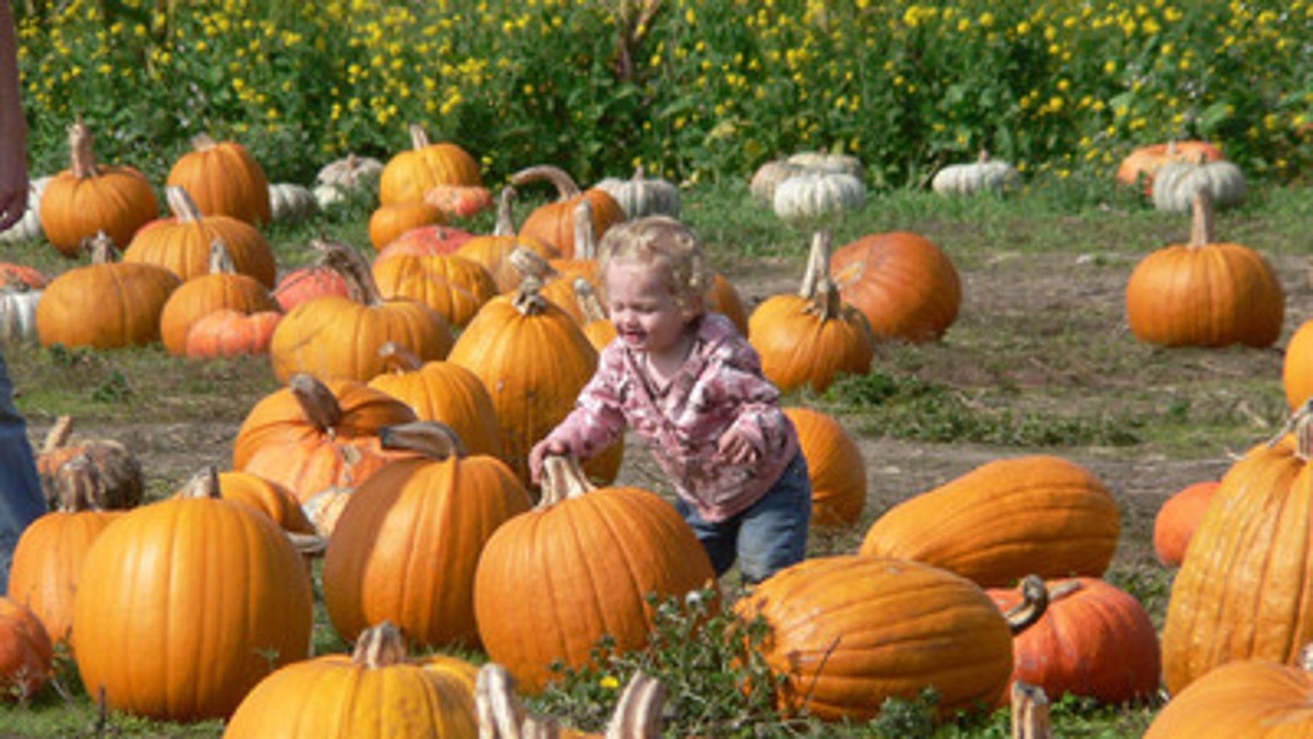 Pumpkin picking in Half Moon Bay, California.