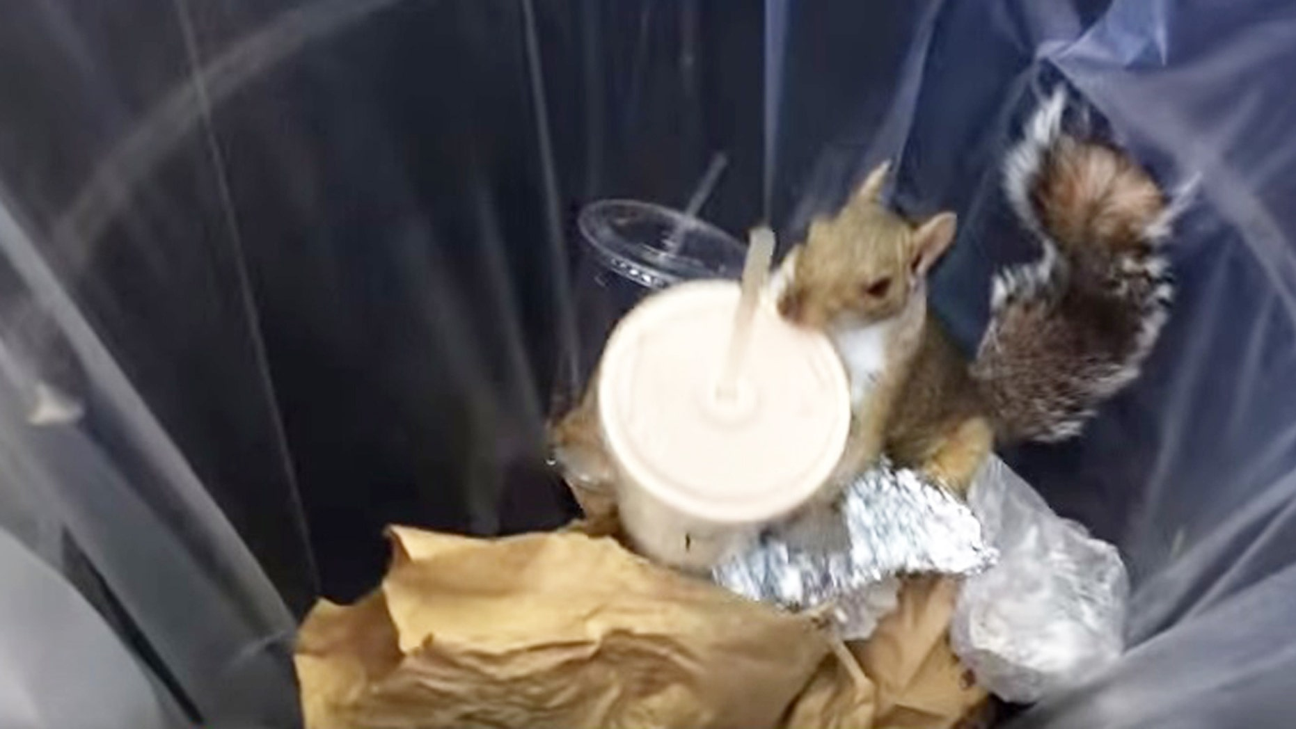 Sheer willpower: A squirrel finds a discarded milkshake and hoards it to safety.