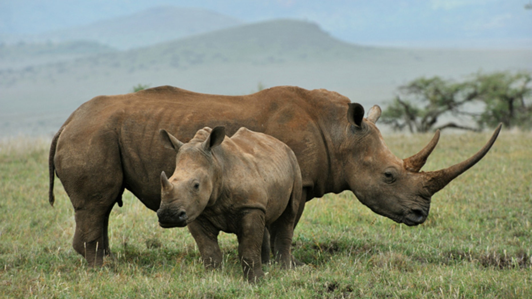 Rhino horn is more valuable than cocaine on the black market.