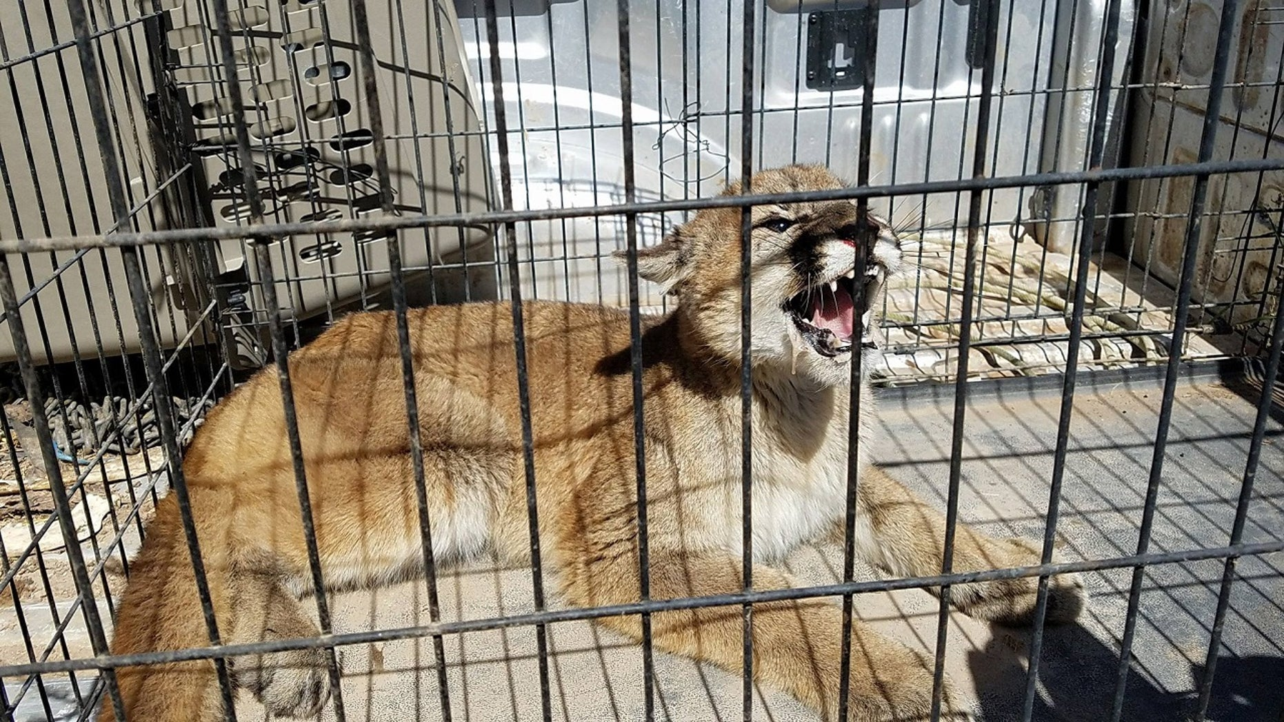 A mountain lion was apprehended Thursday in Fillmore City, Utah, according to a Facebook post from the Millard County Sheriff's Office.