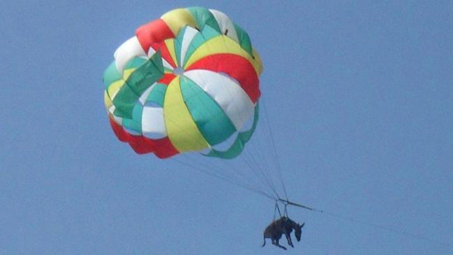 A donkey attached to a parachute flies over a beach in Golubitskaya, Russia. (AFP)