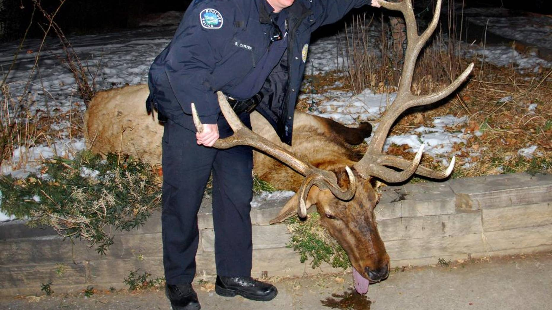 """FILE - This Jan. 1, 2013 photo provided by Lara Koenig, shows Boulder Police Officer Sam Carter, 37,  posing with an elk he allegedly shot in Boulder, Colo. Carter, the former Boulder police officer convicted of killing the  treasured bull elk, faces sentencing Friday, Aug. 29, 2014. District Attorney Stan Garnett has recommended that Carter be sentenced to one year in prison. In a court filing, he called Carter """"flippant"""" and """"arrogant"""" attitude toward his conviction in the shooting of the trophy elk known around town as """"Big Boy."""" (AP Photo/Lara Koenig via The Daily Camera, File) NO SALES"""