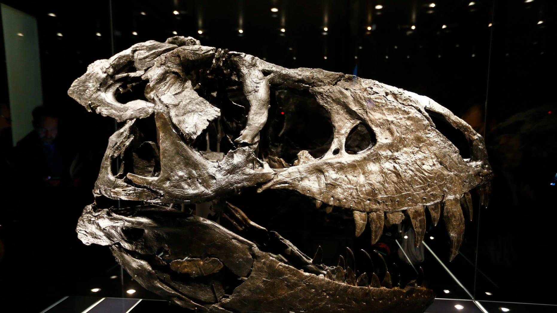 The original skull of a Tyrannosaurus rex skeleton is shown at the Natural History Museum in Berlin, Germany December 16, 2015. (REUTERS/Pawel Kopczynski)