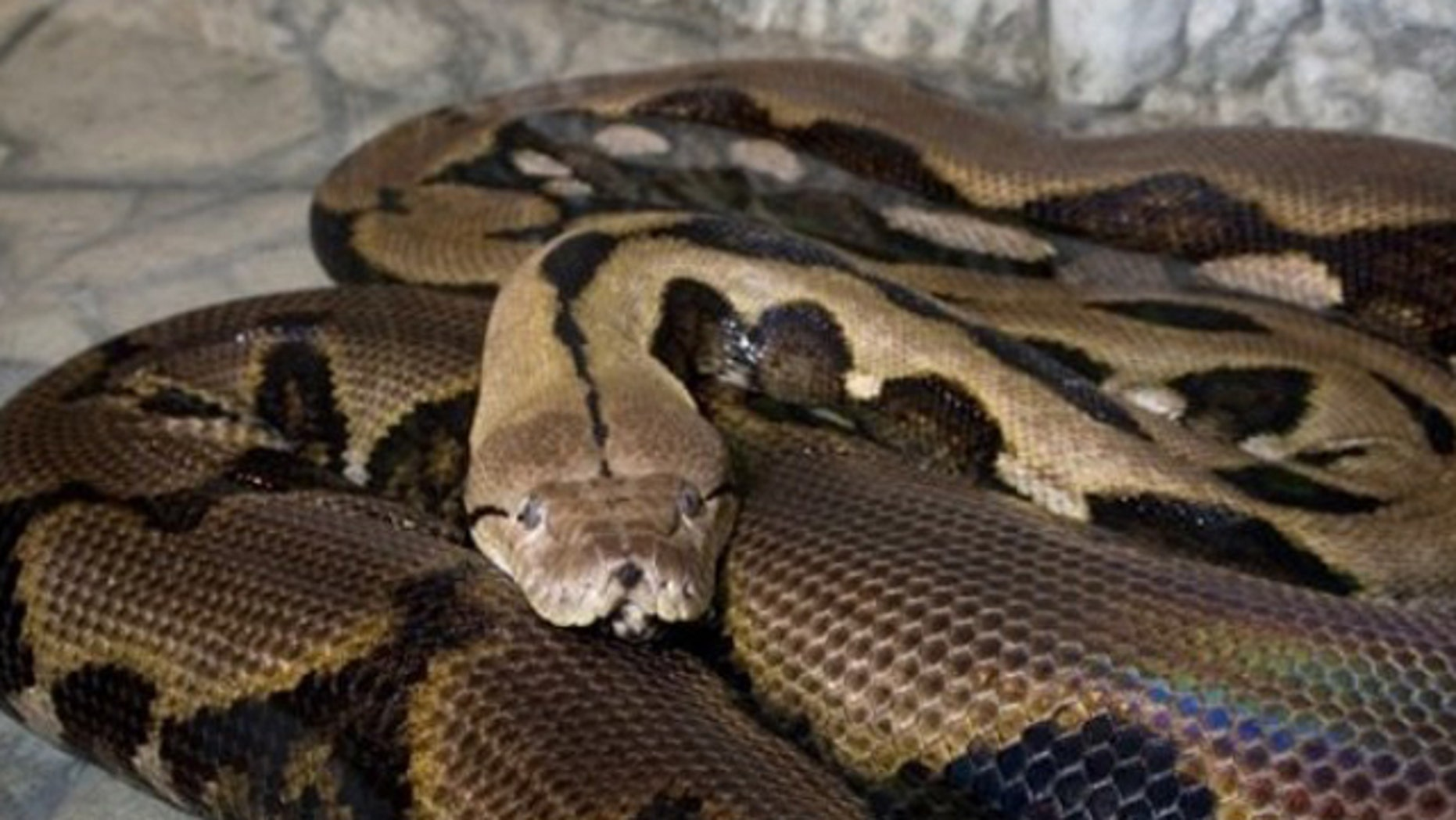 FILE: A python at the Columbus Zoo and Aquarium.