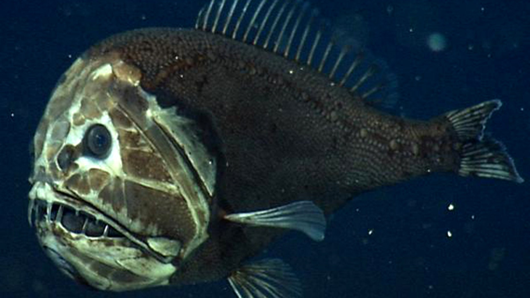 A fangtooth, photographed at about 2,600 feet (800 m.) below the surface of California's Monterey Bay. This fish's fierce appearance belies its size  it's only about 5 inches (12 centimeters) long. But thanks to its huge mouth and teeth, a fangtooth can grab and eat fish and squid almost its own size.